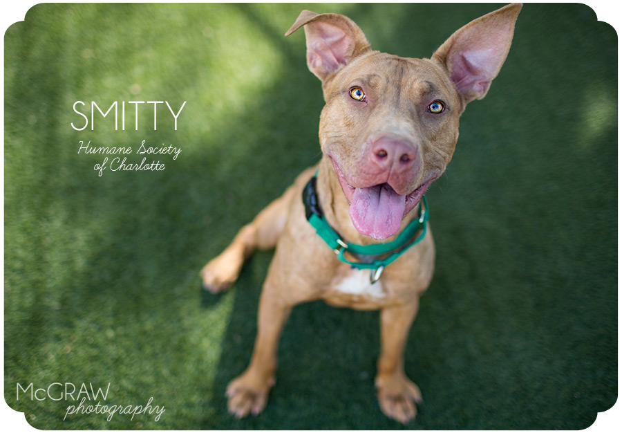 Humane Society of Charlotte adoptable dog