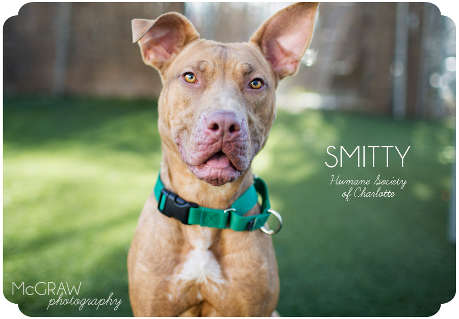 Smitty pit bull mix