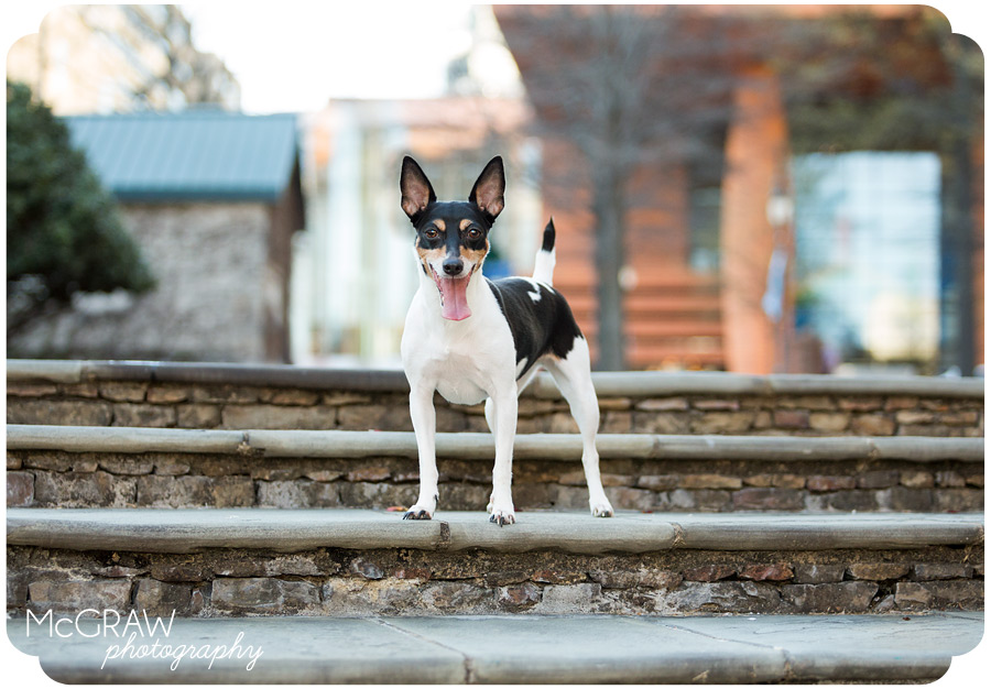 Rat Terrier photographer