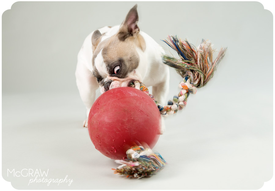 Frenchie playing with Jolly Ball
