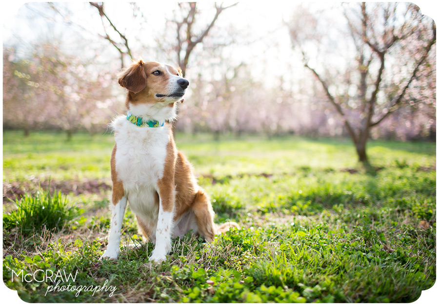 Dogs photographed in peach trees