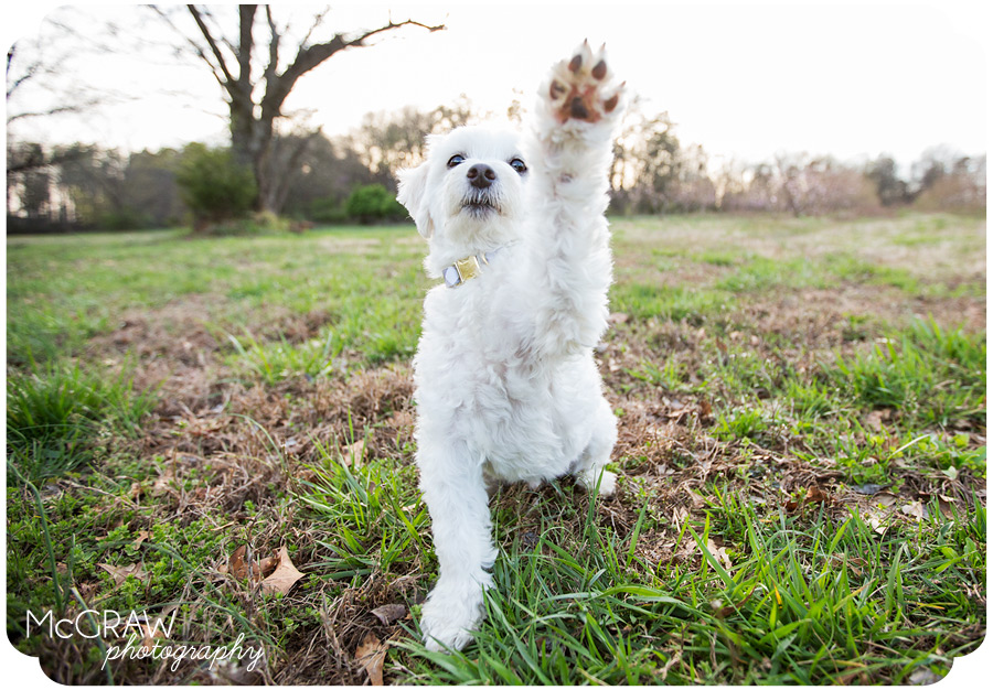 Waving white fluffy dog