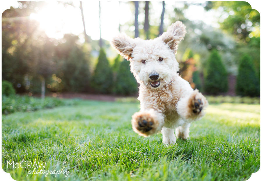 Charlotte NC Goldendoodle Puppy Photographer