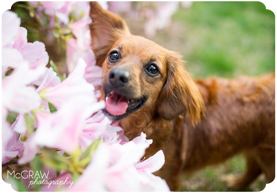Doxie Photographer in Charlotte