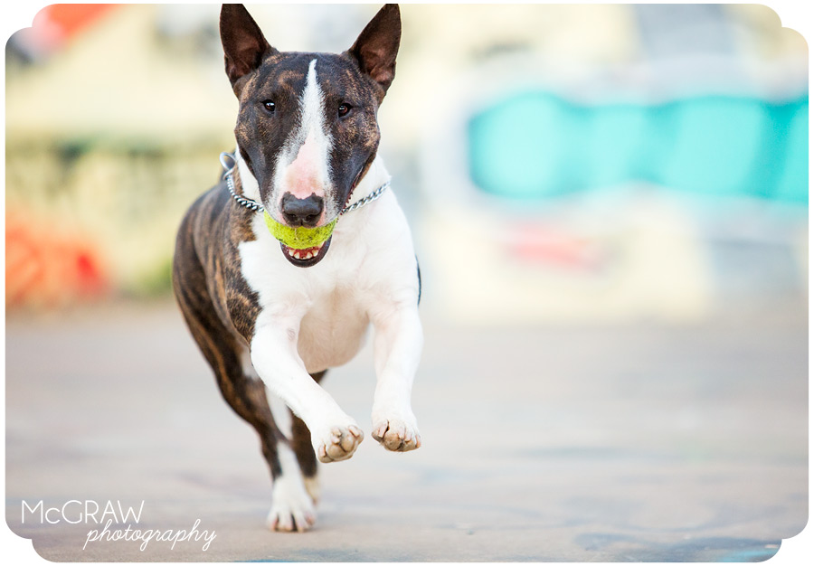 Bull Terrier Running with Ball