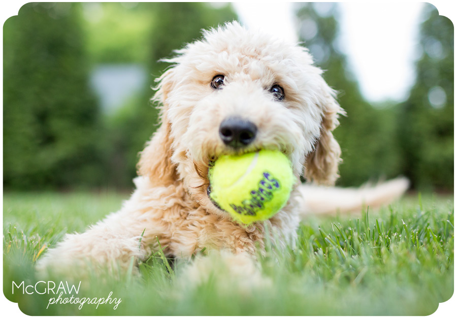 Goldendoodle Puppy Portraits