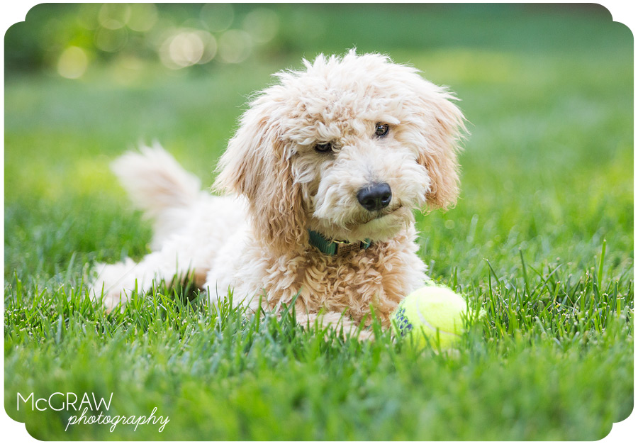 Goldendoodle Puppy with Ball