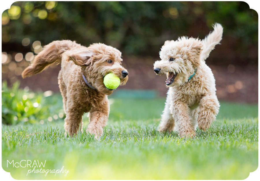 Doodle puppies playing portrait