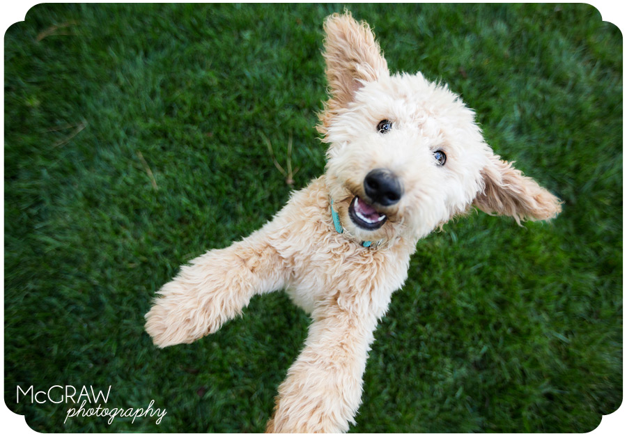 Goldendoodle Puppy Photographer