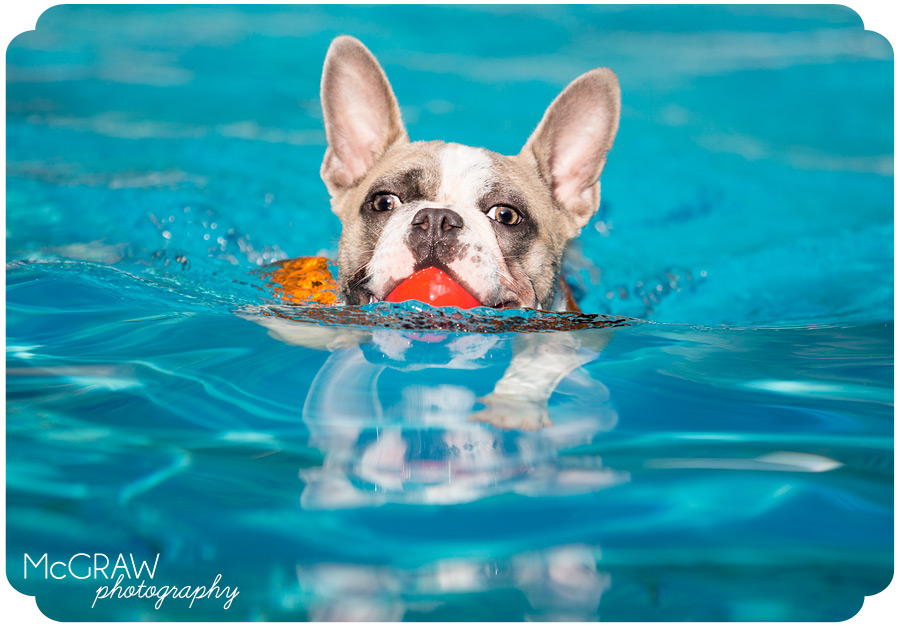 Frenchie swimming portrait