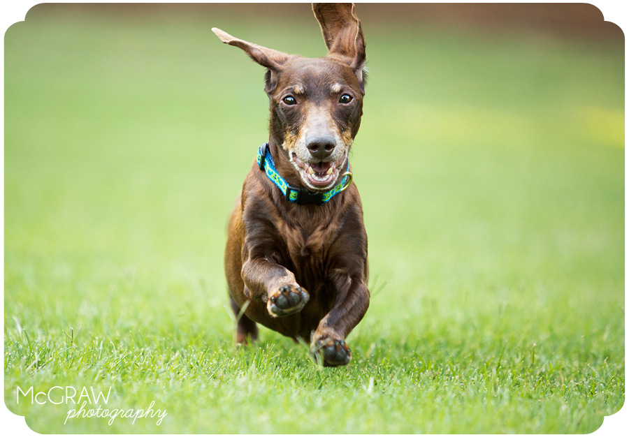 Running Doxie in Charlotte NC