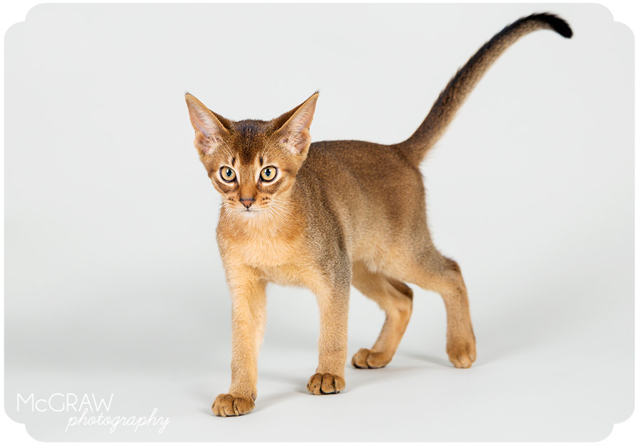 Abyssinian Kitten Photographer