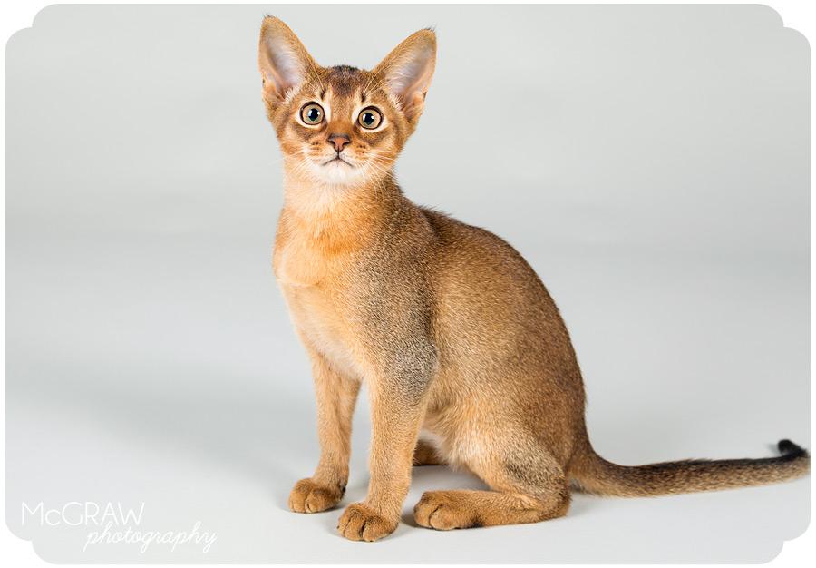 Charlotte NC Abyssinian Kitten