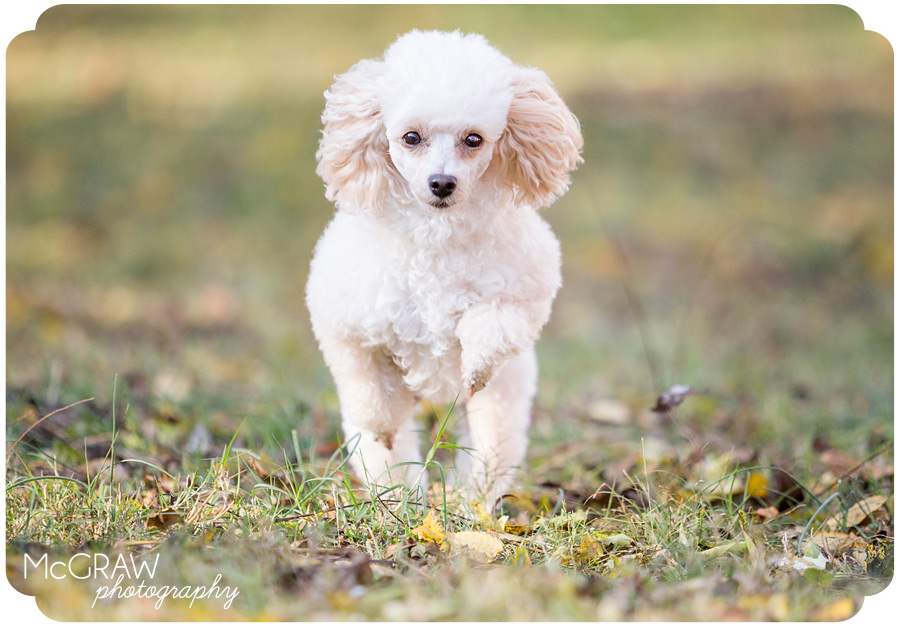 Charlotte NC Poodle Photographer