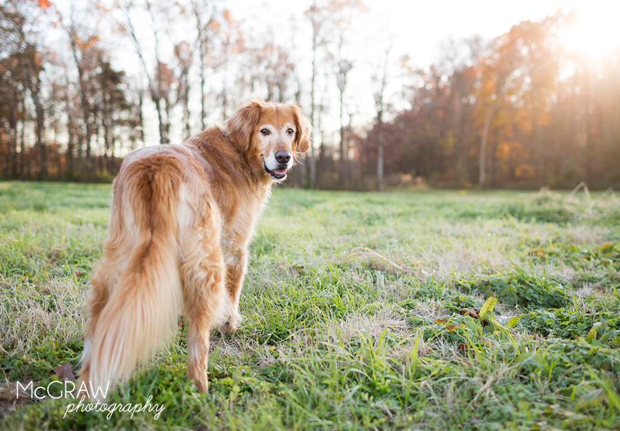 Golden Retriever Photographer
