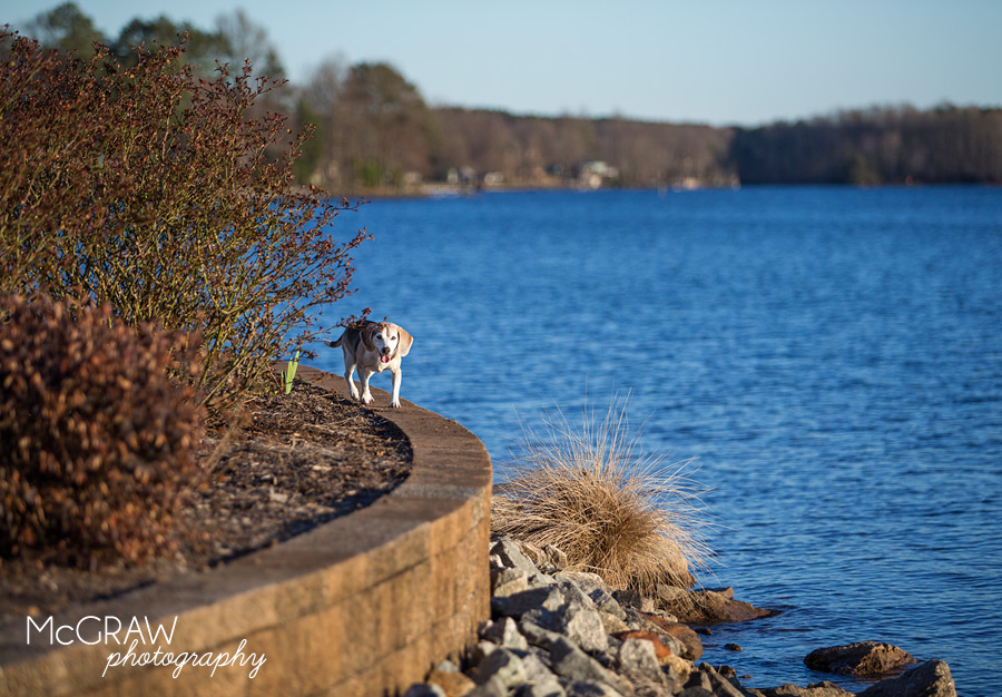 Lake Norman Pet Portaits