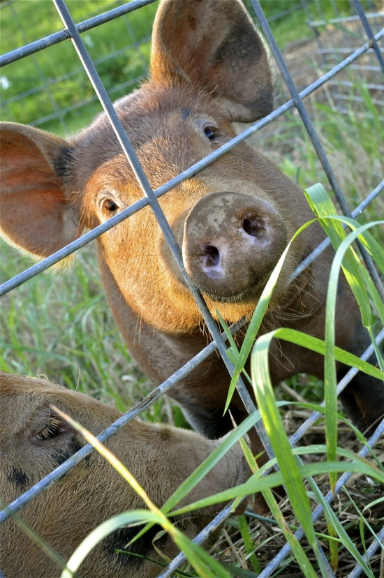 Tamworth pigs enjoying their pasture.