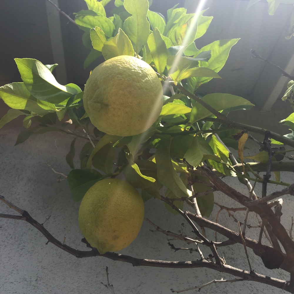 Fresh lemons from the garden saved the day.