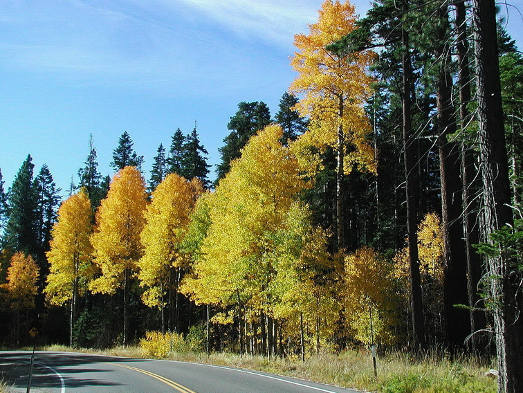 Aspens on Road.jpg