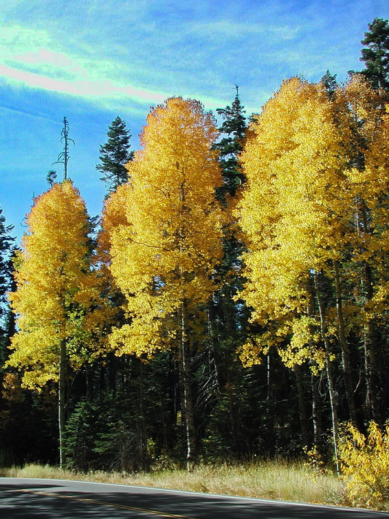 Aspens on Road2.jpg