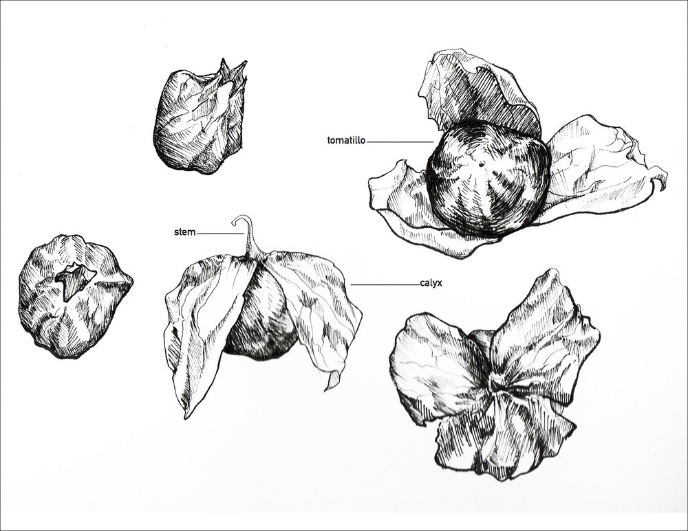 Tomatillo Studies.