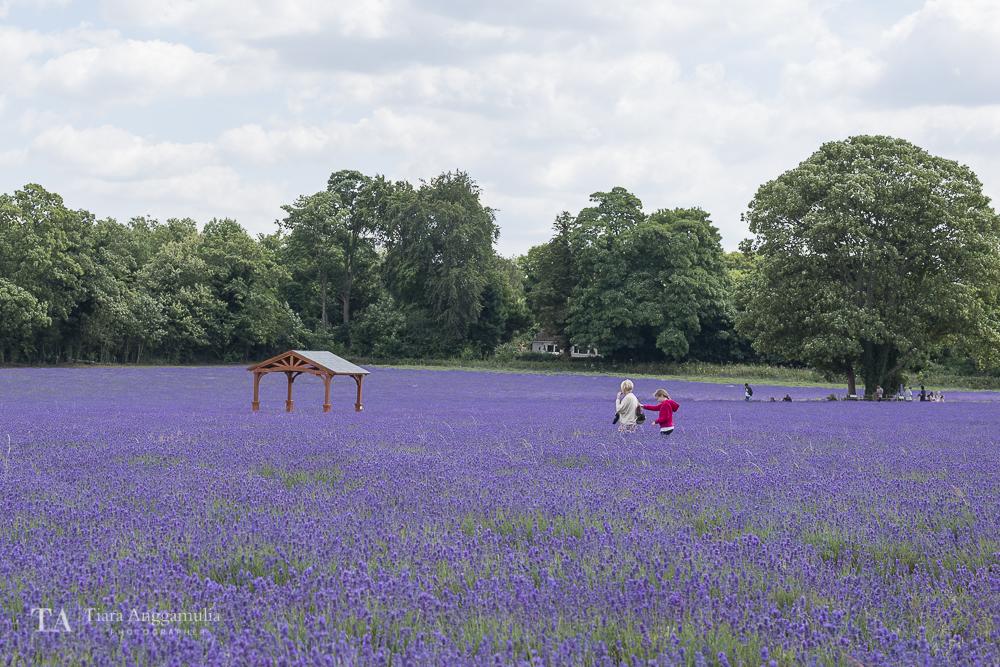 A view of organic lavender farm.