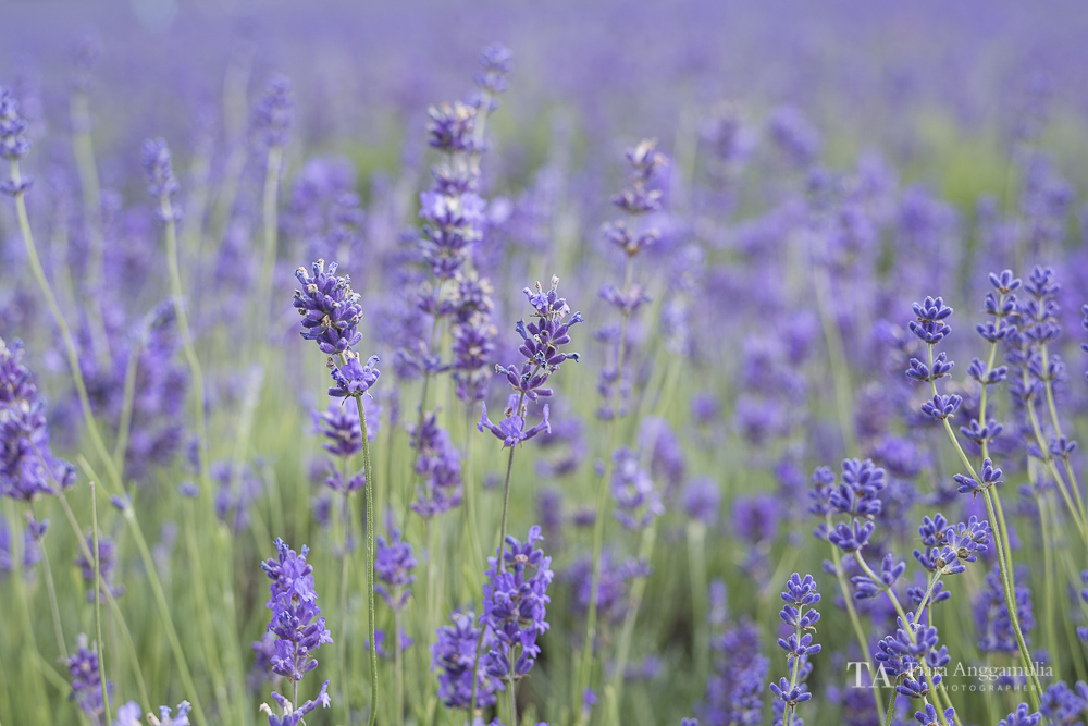 Close up lavenders.