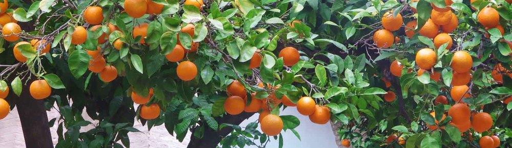 Orange Trees in Seville, Spain / Naranjos de Sevilla, España