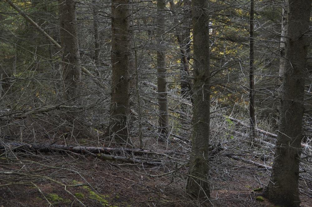 commenter >  Sous-bois d'épinettes noires, Cap à l'Ouest, 3/3  < comment