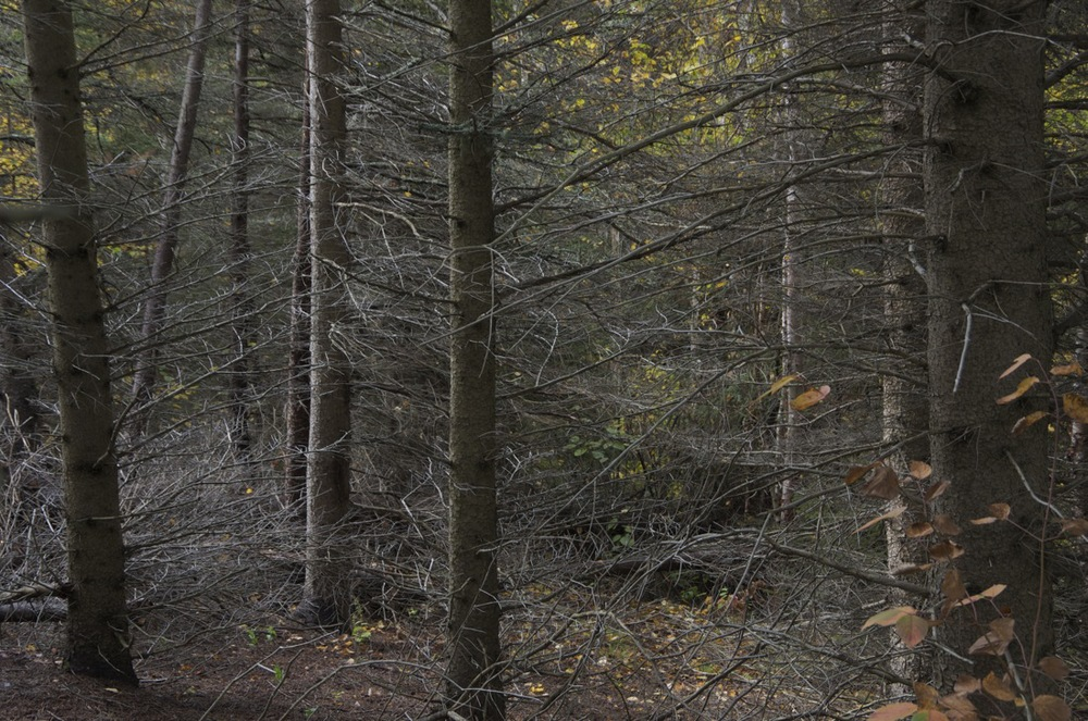 commenter >  Sous-bois d'épinettes noires, Cap à l'Ouest, 2/3  < comment