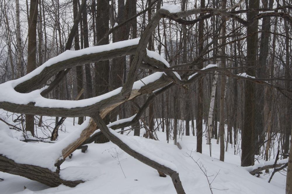 Les branches d'un arbre tombé, Parc du Mont-Royal
