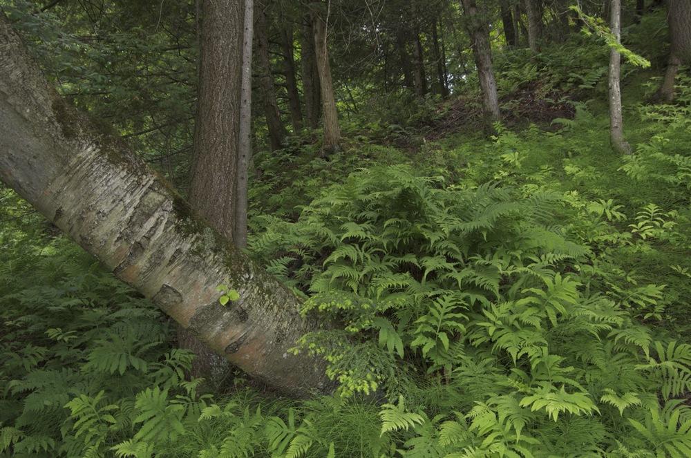Sous-bois avec arbre tombé I
