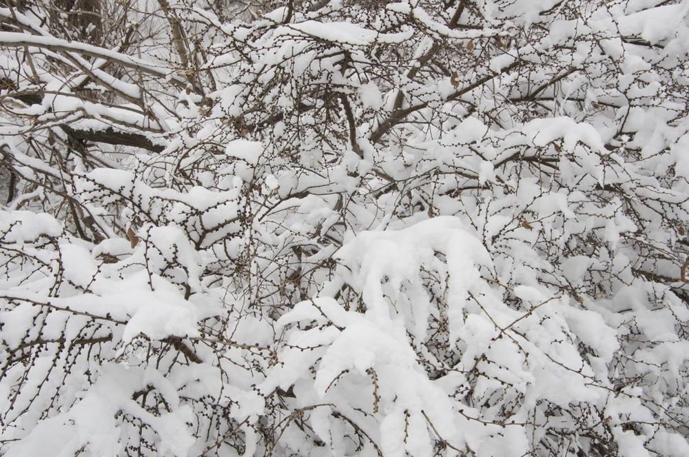 Branches sous la neige, chemin du Tour-de-l'isle, Île Ste-Hélène