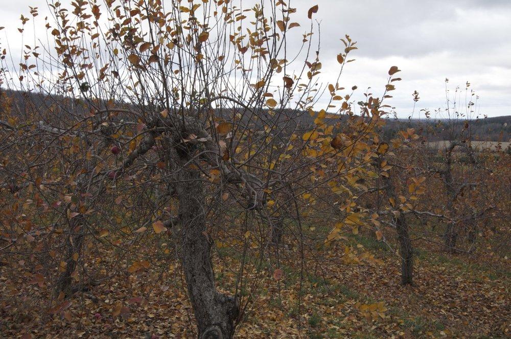 Pommeraie en novembre, Chemin d'Eccles Hill