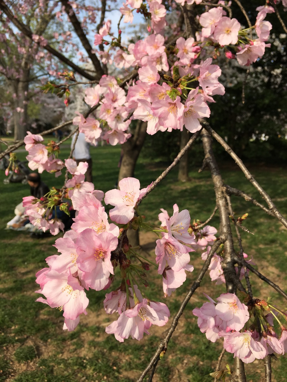 These were the pinkest cherry blossoms that we saw. Almost all the others were a fluffy white, as you'll see in the pictures below.