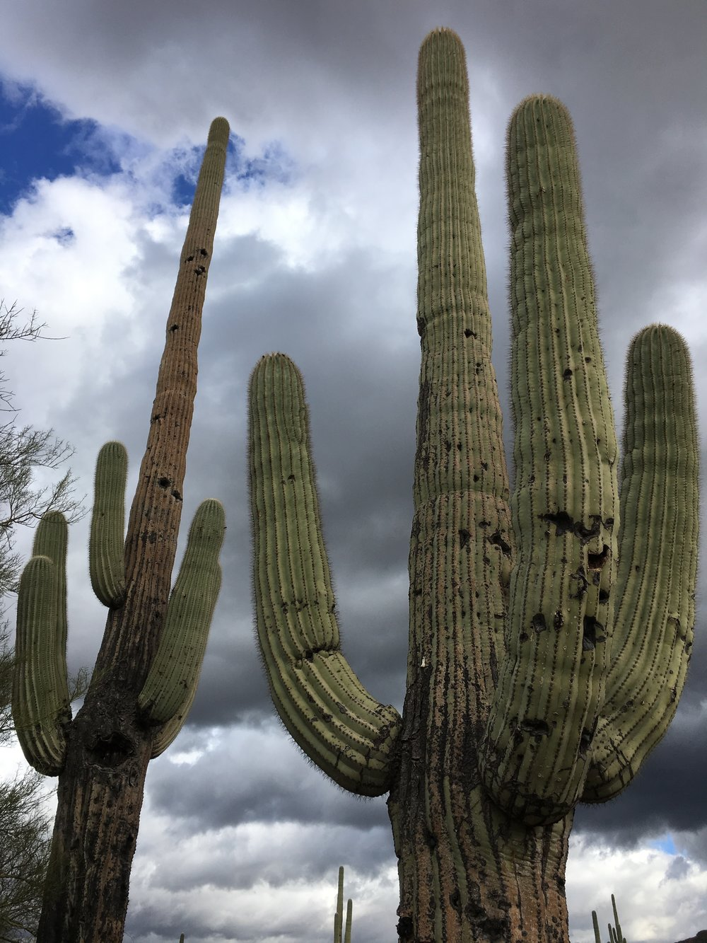 Saguaro cacti – the sentinels of the desert