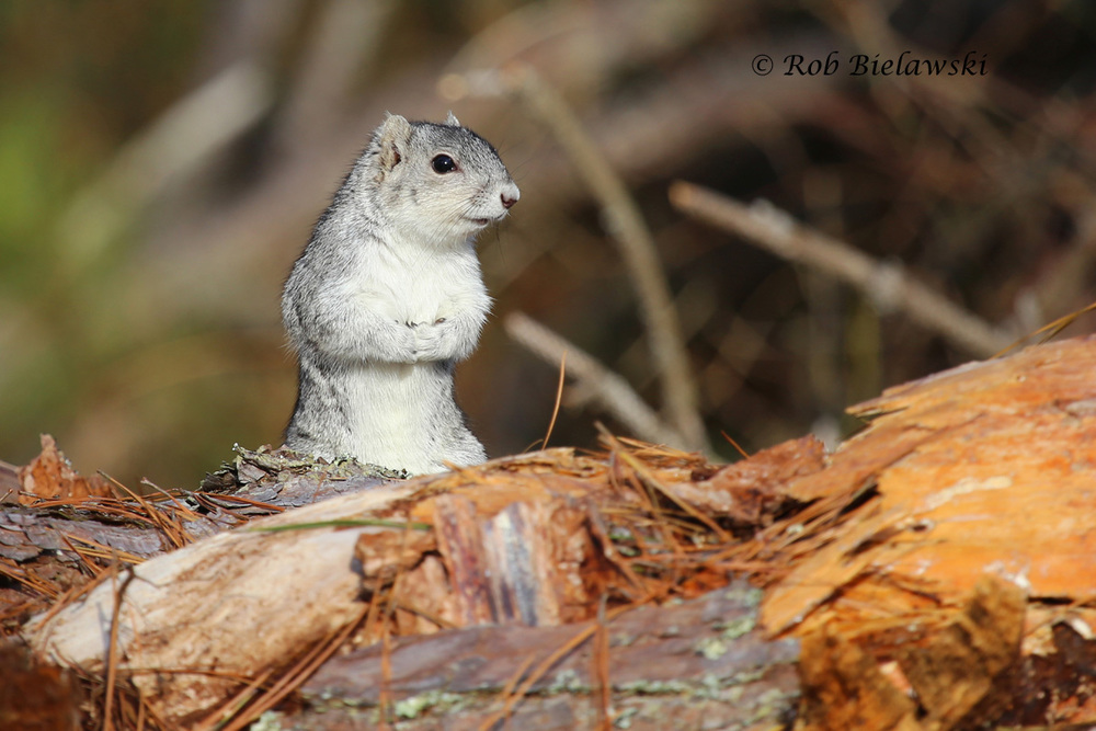One of several Delmarva Fox Squirrels that made an appearance for my mother, step-father, Ruth, and I at Chincoteague NWR on New Year's Eve.