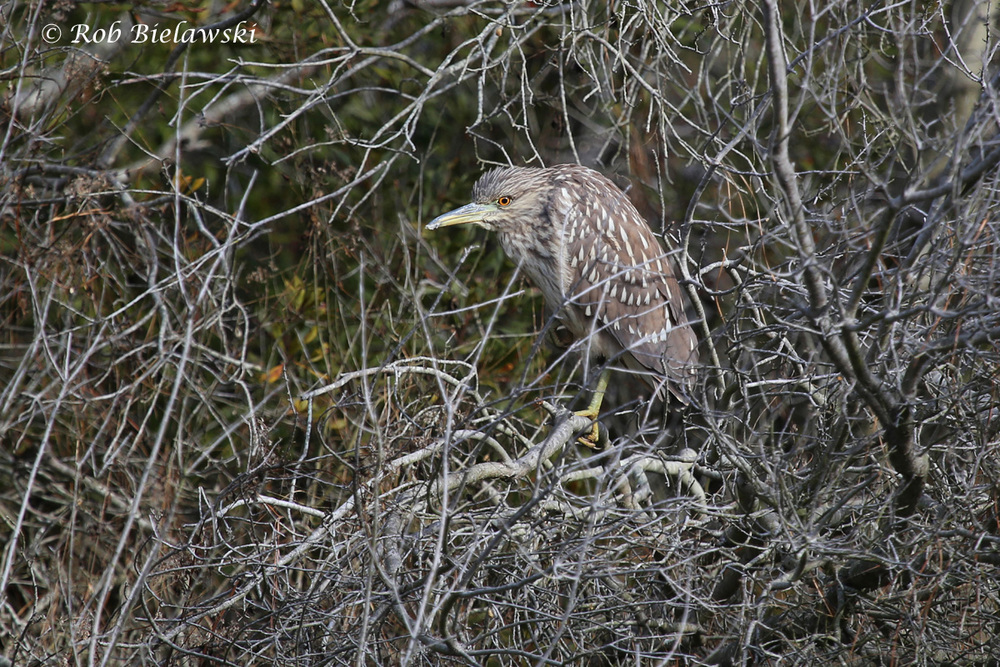 An immature Black-crowned Night-Heron seen at Chincoteague NWR on New Year's Eve!