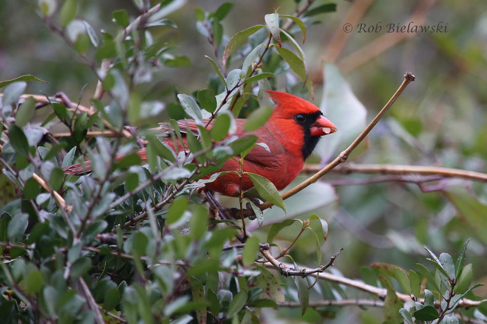 A male Northern Cardinal feeding on seeds in the thickets next to the 88th Street boardwalk to the beach.