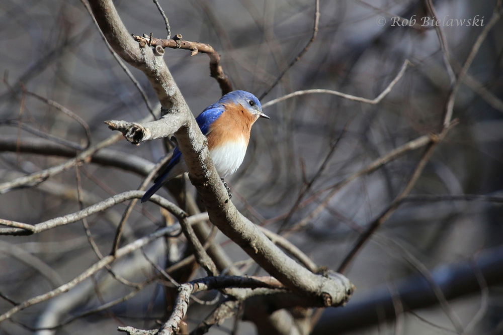 A male Eastern Bluebird seen on the South Run Stream Valley Trail in Lorton, VA.