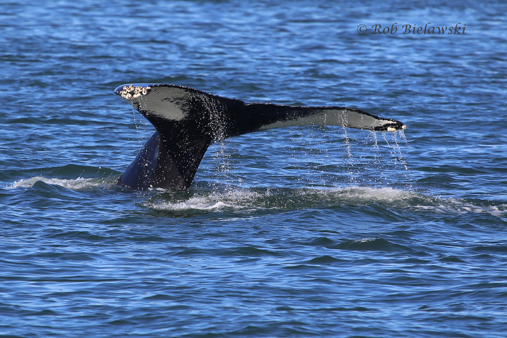 One of the two Humpback Whales we saw from the Rudee Flipper on Saturday morning!