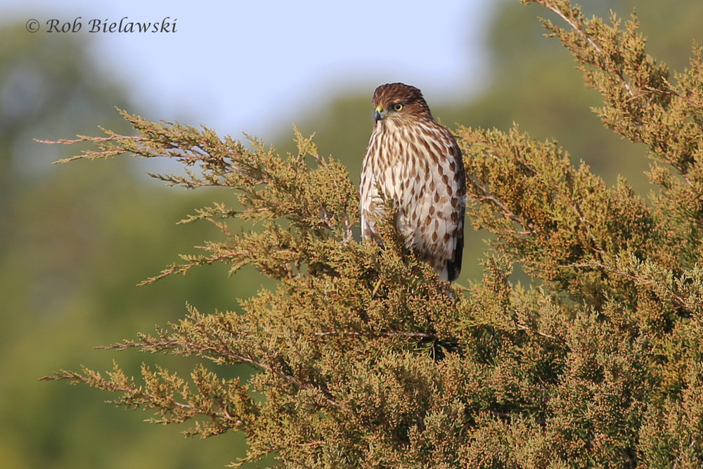 A JUVENILE COOPER'S HAWK, ALSO SEEN AT PLEASURE HOUSE POINT NATURAL AREA IN VIRGINIA BEACH!