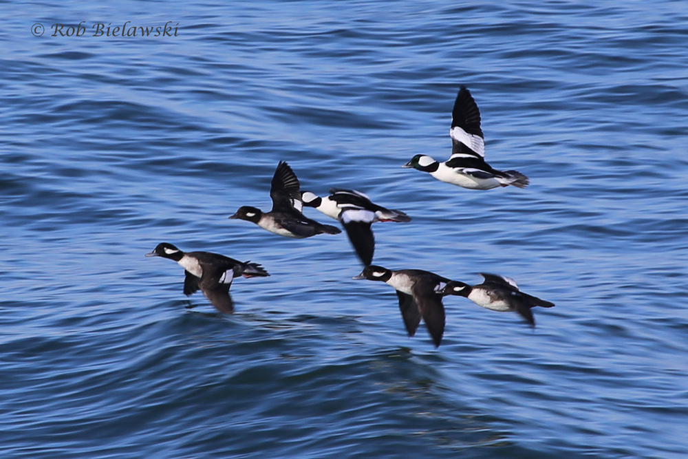 FLOCK OF BUFFLEHEADS SPEEDING PAST SOUTH THIMBLE ISLAND OUT IN THE MOUTH OF THE CHESAPEAKE BAY WHERE IT HITS THE SEA.