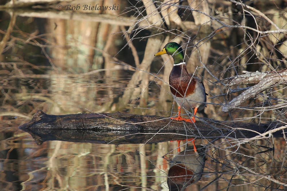 THE EXTREMELY COMMON, BUT VERY STRIKING MALLARD DRAKE. THIS ONE WAS SEEN AT STUMPY LAKE NATURAL AREA IN VIRGINIA BEACH ON SUNDAY!