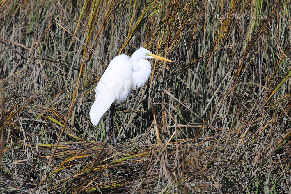 Great Egret seen against the marshes at Shem Creek Park, South Carolina.