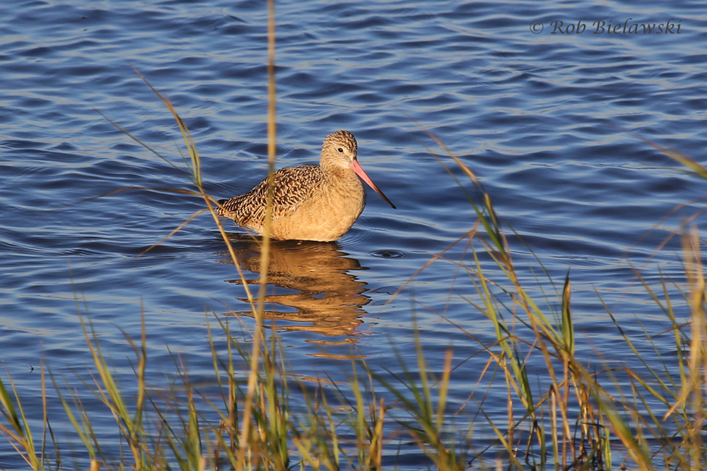 The beautiful Marbled Godwit, seen at Pitt Street Causeway, Mount Pleasant, SC!