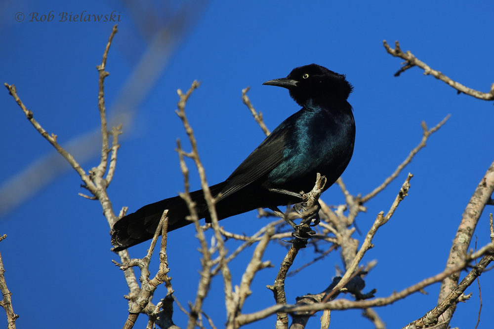 The very common, but very beautiful in the right light, Boat-tailed Grackle male!