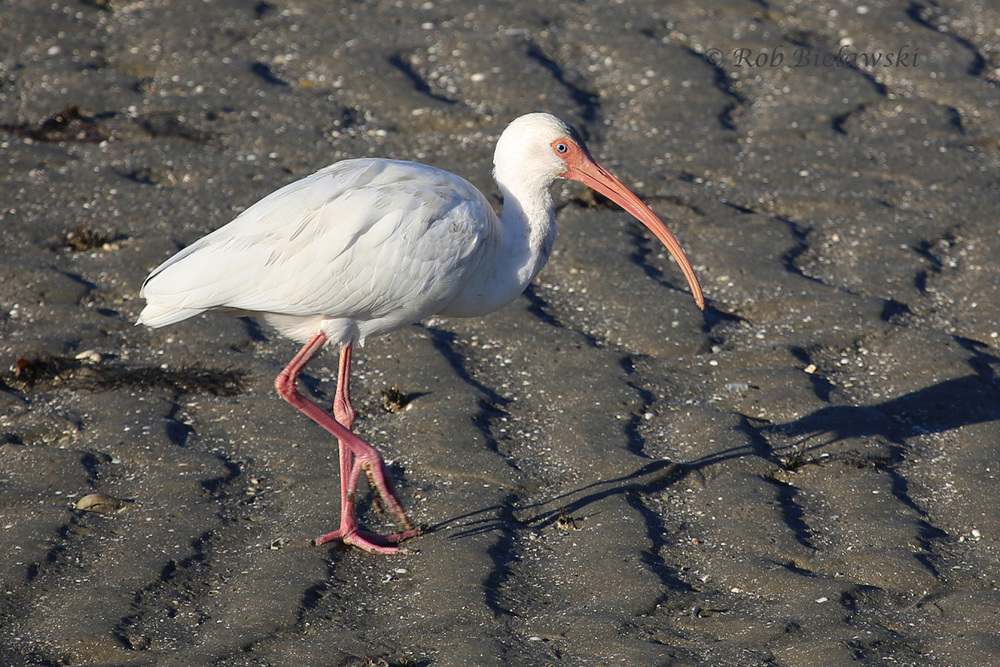 An adult White Ibis out on the mudflats at Pitt Street Causway.