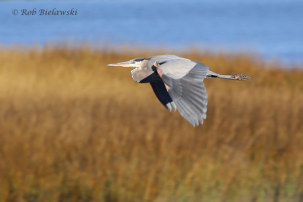 Great Blue Heron in flight over the marshes at Pitt Street Causeway.