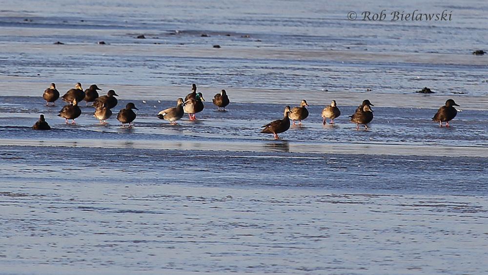 Mallard, American Black Duck & Gadwalls
